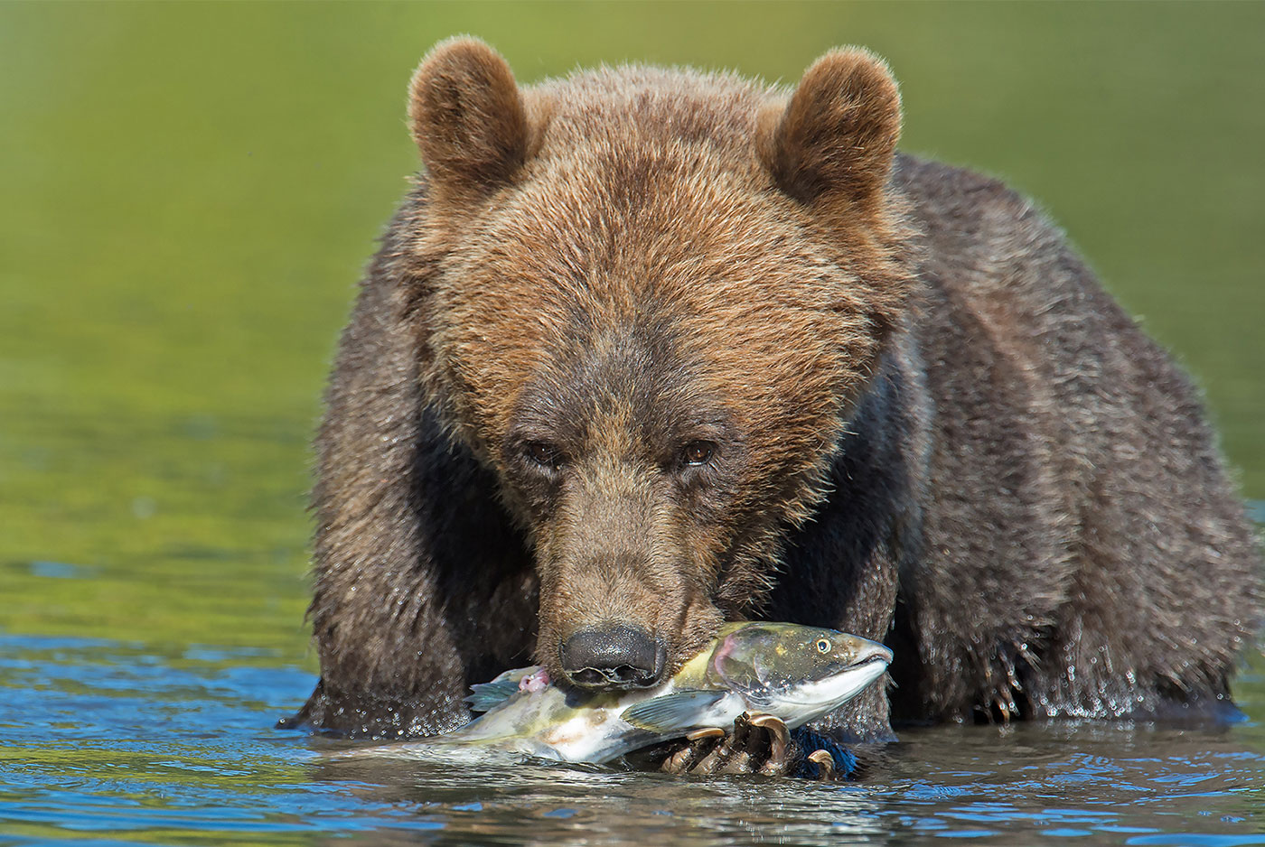 the grizzly bear lodge Bc coastal grizzly bear hunts - 75% of grizzlies taken here qualify for b&c - combination hunt for black bear included - lodge based or boat based hunting packages - archery hunters all grizzly hunts include a coastal black bear tag and harvest at no charge if the opportunity presents.